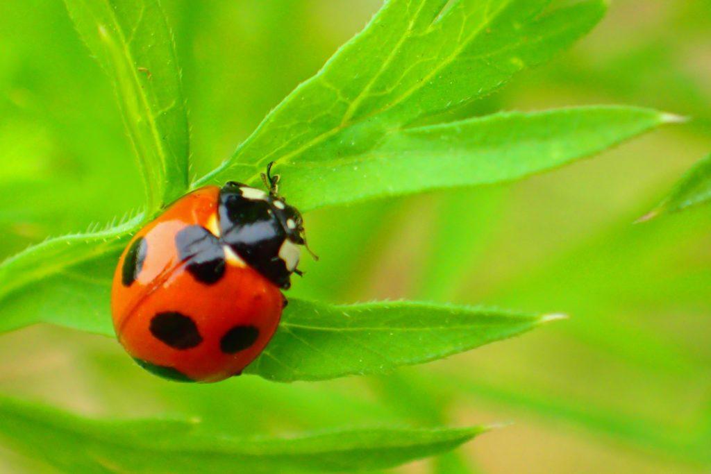 テントウムシの幼虫に与える餌はもちろん「アブラムシ ...